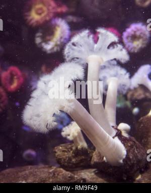 Riesige Plumose Anemone oder White-Plumed Anemone in Ripley's Aquarium, in Toronto, Kanada. Metridium farcimen ist an der westlichen Meeresküste der Uni gefunden - Stockfoto
