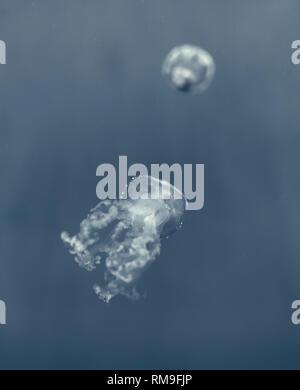 Weiß getupftem Quallen (Phyllorhiza punctata), auch bekannt als die Australische Quallen, Sanftes Schweben in der Kreisel tank Spotted, in Ripley's Aquar - Stockfoto