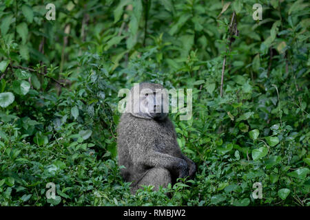 Olive Baboon in der Äthiopischen Nebelwald, Harenna Wald, südlichen Äthiopien, Afrika. - Stockfoto