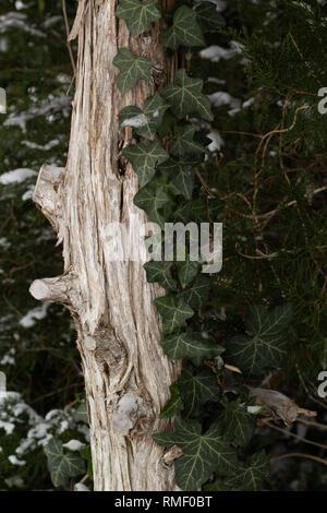 Dünne Snowy Trunk im Winter während der erste Schnee am Weihnachtsmorgen - Stockfoto