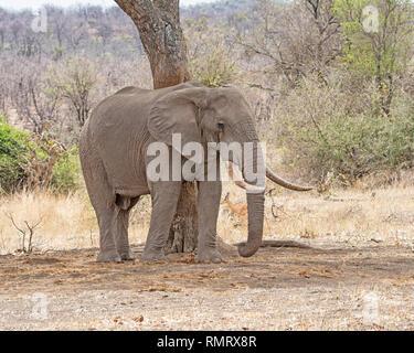 Eine afrikanische Elefantenbulle im südlichen afrikanischen Savanne - Stockfoto
