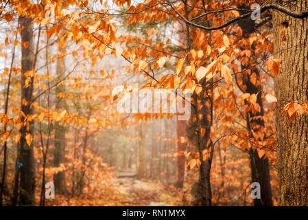 Amerikanische buche Bäume mit gelb bis orange Blätter im Herbst auf einem Trail in Burr Pond State Park in Torrington, Connecticut. - Stockfoto