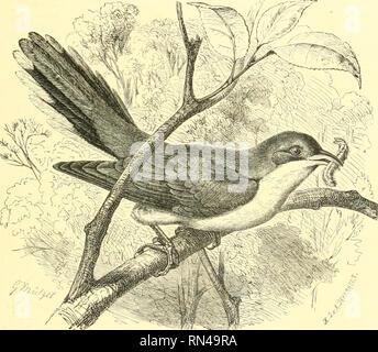 """. Animate Creation: beliebte Ausgabe von """"unsere Welt"""": eine natürliche Geschichte. Zoologie; Zoologie. Die YELLOW-BILLED AMERIKANISCHEN KUCKUCK. 427 auf dem niedrigsten Brandies, macht schnell seinen Weg durch die boiighs auf den Gipfel, und nimmt dann die Flügel. Das Nest dieses Vogels ist auf tlie Boden platziert, im Schatten von einem grasbüschel. Es ist ein grosses und ziemlich unbeholfen konstruierte Gebäude; mit zwei Öffnungen, durch die die Henne sitzend, stösst ihr Haupt und durch die anderen sie pokes ihrem Schwanz. Die Eier werden in der Regel aus drei bis fünf in numlier, und sind mehr sphärisch - Stockfoto"""