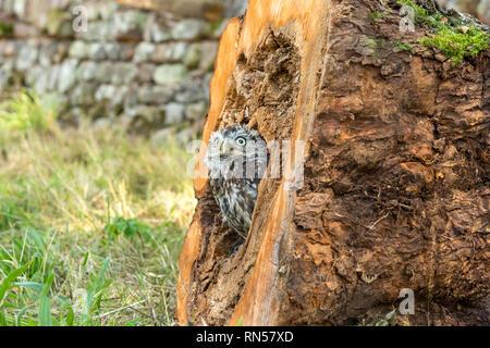 Steinkauz (Athene noctua) in einem Baumstumpf gehockt und heraus lugen. Kleine Eule ist es, die Arten und nicht auf die Größe der Eule. Landschaft - Stockfoto