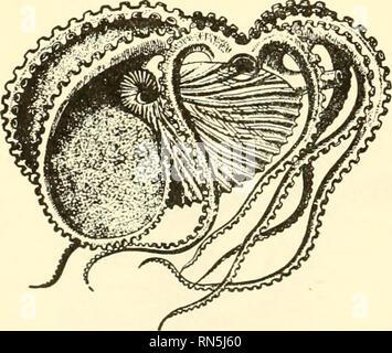 """. Biologie der Tiere. Zoologie; Biologie. 3/phuncle Sie//masc/e A^arrHe befweer Parf/gewonnen? Kammern Abb. 139.- eine weibliche Chambered Nautilus. {Von Hertwig und Kingdey, """"Manuelle abl Zoologie,"""" nach Ludwig und Leunis, von der Höflichkeit von Henry Holt & Amp; Company.) Die Shell ist halbiert, aber das Tier ist nicht. Vergangenheit durch das Tier besetzt worden, die jedoch schon verlassen wurde, wie er und die shell größer geworden sind. Das Tier lebt in den Gebieten in äußerster Fach. Die Partitionen sind konkav in Richtung der Mündung des Shell. Diese Fächer sind mit Gas, die Auftrieb gibt, counterac gefüllt werden - Stockfoto"""