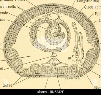 . Biologie der Tiere. Biologie; Zoologie; Physiologie. Der wirbellosen Körper 103 Speicherplatz von einem Tier zum anderen, sondern besteht aus einem linear-Baureihe der Kammern durch das Zentrum von denen läuft die Speiseröhre. Die Grenzen dieser Kammern sind auf der Außenseite der Wurm dicated durch eine Reihe von Nuten, die um den Körper an der Wand. Kurz, der Körper besteht aus einer Reihe von im Wesentlichen ähnlichen Einheiten als Segmente bekannt gemacht, und somit bietet ein einfaches Beispiel für die Segmentierung, die ex-in unterschiedlichem Grad in fast allen höheren Tieren gedrückt wird. Viele der c - Stockfoto