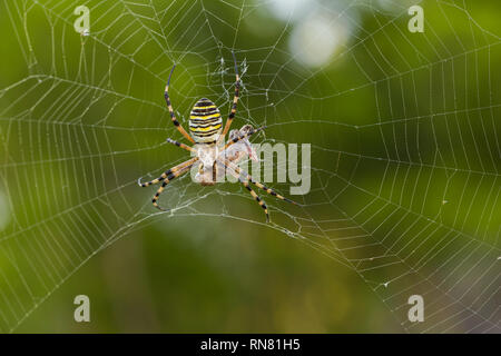 Wasp spider Argiope Bruennichi mit Beten in Kroatien - Stockfoto