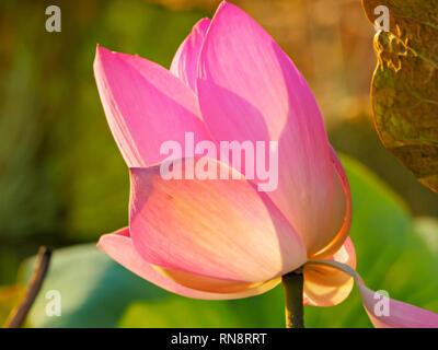 Nahaufnahme der hübschen rosafarbenen Blüten einer teilweise offenen Lotus lily wächst in der NT - Stockfoto