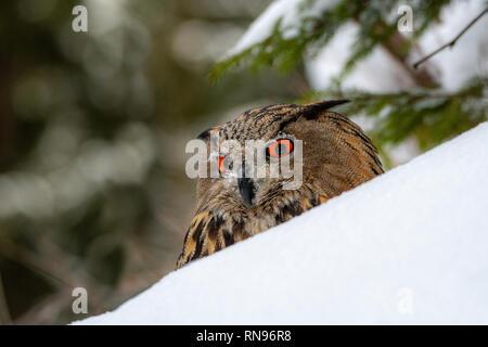 Europäische Uhu (Bubo bubo) im Winter - Stockfoto