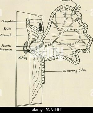 . Die anatomischen Datensatz. Anatomie; Anatomie. Modell mit PERITONEALEN ENTWICKLUNG 441 boiird ist attaclunl ti doublo hiyor der Musselin, der comiuou Mesen-Terie. Im oberen Teil dieses, das mesogastrium, sind die des Magens, der Bauchspeicheldrüse und der sjiloen eingeschlossen, und der untere Teil besteht aus dem mesentry Proi) Äh, die umschließt die Primitiven intes-tinal Schleife mit einigen Entwicklung des intestinalen Spulen in der uppjer Caecum zu vertreten. Absteigender Dickdarm Abb. 2. Modell zeigt Veränderung in den Beziehungen der Eingeweide an die Drehung des Magens; Abbildung zeigt auch den ersten Schritt in ein Verdrehen des mesenteriums am duodeno- - Stockfoto