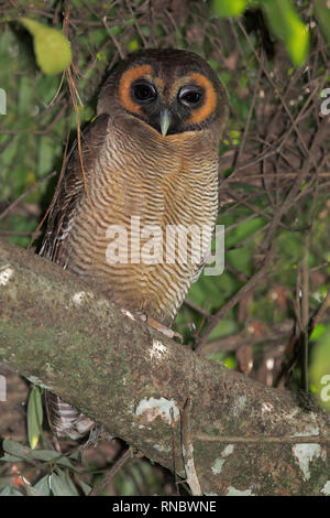 Braunes Holz-Owl - Stockfoto