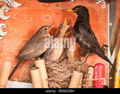 Amsel (Turdus merula) Männliche Fütterung bettelnde Küken im Nest in einem Werkzeugkasten. Deutschland - Stockfoto