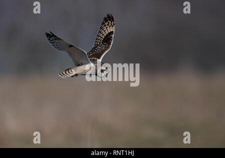 Kurze-eared Owl-Asio flammeus schwebt. Winter. Großbritannien - Stockfoto