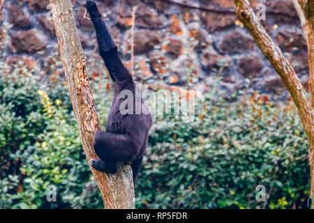 Gorilla in Parque de la Naturaleza de Cabárceno Nationalpark - Stockfoto
