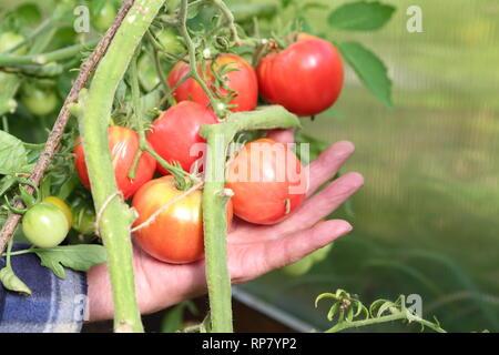 Bauer hält Tomaten in seinen Händen - Stockfoto