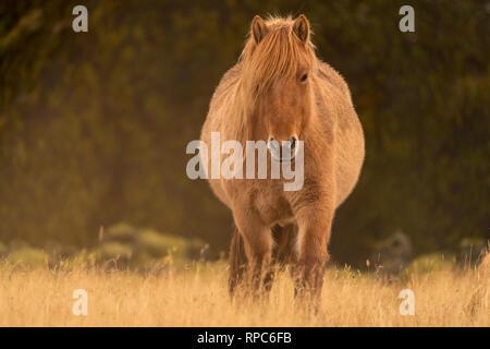 Wild Horse in Island - Stockfoto