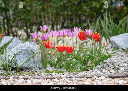 Rot und Pink Tulip bed - Stockfoto