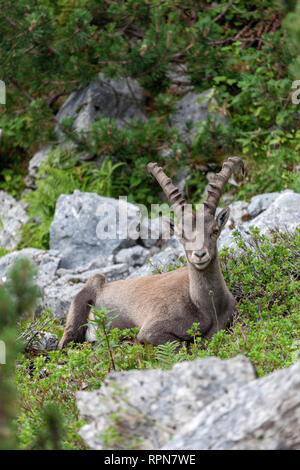 Zoologie/Tiere, Säugetiere, Säugetier/Ziegen (Capra), Alpensteinbock (Capra ibex), Steinböcke in der Nähe von Benedikten, Additional-Rights - Clearance-Info - Not-Available - Stockfoto