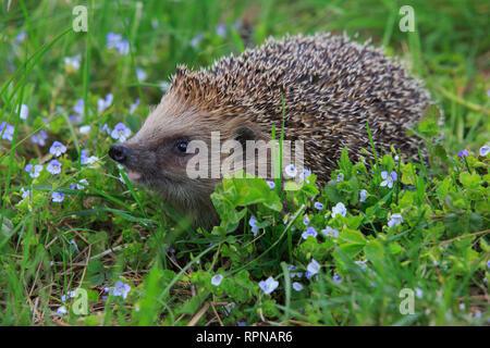 Zoologie/Tiere, Säugetiere (Mammalia), gemeinsame Igel Erinaceus, eu, No-Postcard, deutschsprachigen Ländern (D/A/CH), 01.11.2016 - 01.11.2019, - Stockfoto