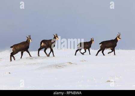 Zoologie/Tiere, Säugetiere (Mammalia), Gemsen, Gämsen, Rupicapra Rupicapra, alpine Gämsen, Schweiz, Additional-Rights - Clearance-Info - Not-Available - Stockfoto