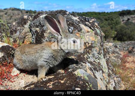 Zoologie/Tiere, Säugetiere (Mammalia), Europäische Kaninchen, Oryctolagus cuniculus, Spanien, Additional-Rights - Clearance-Info - Not-Available - Stockfoto