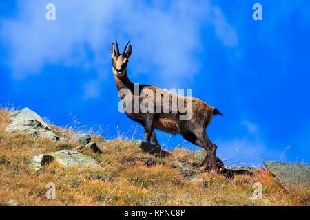Zoologie/Tiere, Säugetiere (Mammalia), Gemsen, Gämsen, Rupicapra Rupicapra, alpine Gämsen, weiblich, V, Additional-Rights - Clearance-Info - Not-Available - Stockfoto