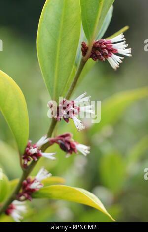 Sarcococca orientalis. Stark duftende winter blumen von Sarcococca orientlais in einem Englischen Garten, Januar, Großbritannien - Stockfoto