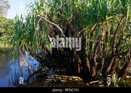 Schwarz australasian Schlangenhalsvogel (Anhinga novaehollandiae) Verstecken im Busch auf einem Zweig der jackfrucht Baum. - Stockfoto