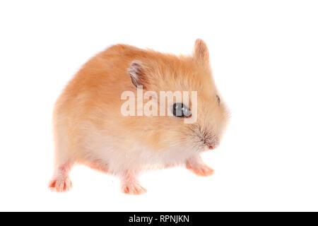 Kleine lustige Hamster auf weißem Hintergrund - Stockfoto