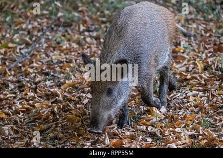 2 junge Wildschweine in den Wald - Stockfoto