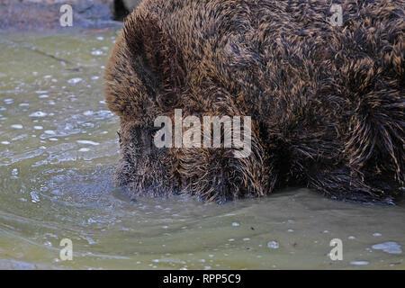 Wildschwein Grabungen in den schlammigen Pool - Stockfoto