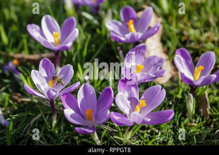 St James's Park, London. 22. Feb 2019. UK Wetter: Frühling in London. Krokusse im St James's Park, London, UK Credit: Amanda Rose/Alamy leben Nachrichten - Stockfoto