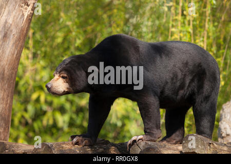 Zoologie/Tiere, Bear, sun bear (Helarctos malayanus), Münster, Zoo, Additional-Rights - Clearance-Info - Not-Available - Stockfoto