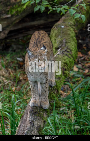 Zoologie/Tiere, Säugetiere (Mammalia), Eurasischen Luchs (Lynx lynx), parc animalier de Sainte-Croix, Natur, Additional-Rights - Clearance-Info - Not-Available - Stockfoto