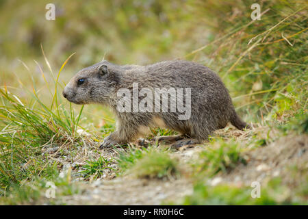 Zoologie, Säugetiere (Mammalia), alpine Murmeltier (Marmota marmota), Additional-Rights - Clearance-Info - Not-Available - Stockfoto