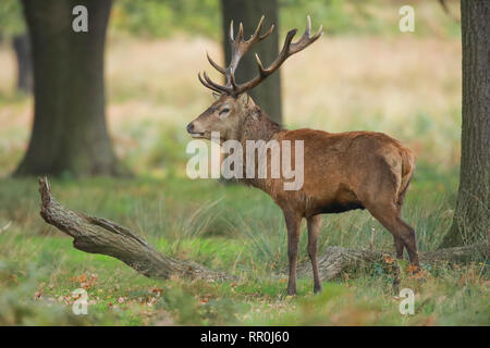 Zoologie, Säugetiere (Mammalia), Rotwild (Cervus elaphus), Additional-Rights - Clearance-Info - Not-Available - Stockfoto
