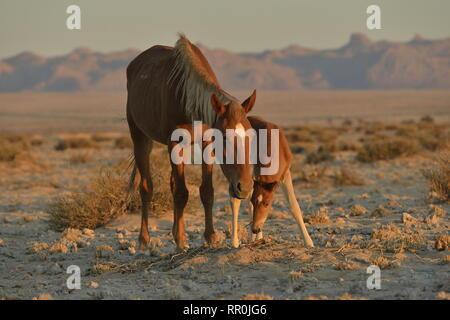 Zoologie/Tiere, Säugetiere (Mammalia), Wüste, Pferde, namibischen Wildpferde oder Namibs (Equus ferus) in der Nähe, Additional-Rights - Clearance-Info - Not-Available - Stockfoto