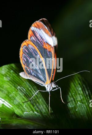 Glasswing Butterfly an RHS Wisley, UK. - Stockfoto