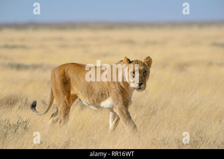 Zoologie, Säugetiere (Mammalia), Löwe (Panthera leo), weibliche Tier, Etosha National Park, Namibia, Additional-Rights - Clearance-Info - Not-Available - Stockfoto