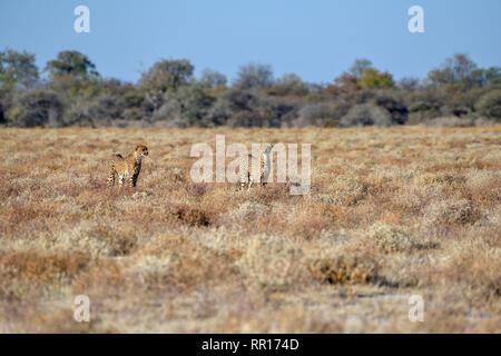 Zoologie, Säugetiere (Mammalia), zwei Geparden (Acinonyx jubatus), männliche Tiere, die von Namutoni, Etosha Na, Additional-Rights - Clearance-Info - Not-Available - Stockfoto