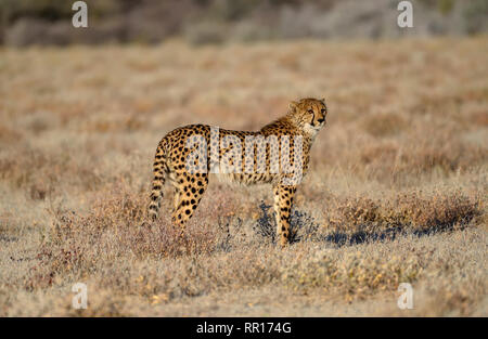 Zoologie, Säugetiere (Mammalia), Geparden (Acinonyx jubatus), männliche Tier, von Namutoni, Etosha Nationalpark, Additional-Rights - Clearance-Info - Not-Available - Stockfoto