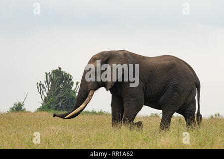 Ein großer männlicher Elefant mit sehr großen Tücken, der durch die Savanne im Queen Elizabeth National Park, in Uganda, spazieren geht - Stockfoto