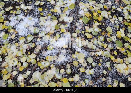 Tot Herbst aspen Blätter auf dem Waldboden mit frischem Schnee in Prince Albert National Park bedeckt, nördliche Saskatchewan, Kanada. - Stockfoto