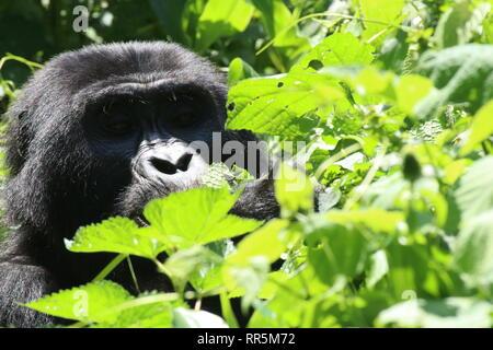 Berggorilla Silberrücken im Regenwald Bwinde Nationalpark Uganda Afrika - Stockfoto