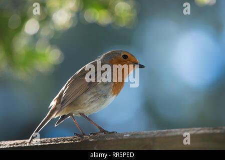 Garten Robin mit Hintergrundbeleuchtung - Stockfoto
