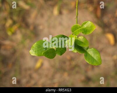 Close up Bergamotte, Blatt und Dorn aus dem Baum in meinem Haus auf dem Land. Bergamotte Blatt, ein Rezept für Thailand Esan Essen. - Stockfoto