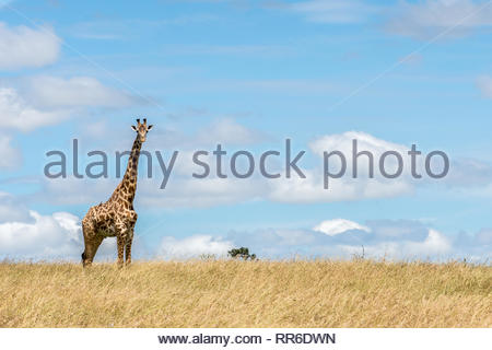 Masai Giraffe kritisch beäugt uns in der Masai Mara in Kenia - Stockfoto