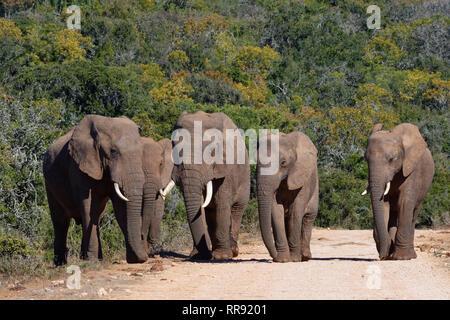 Afrikanischen Busch Elefanten (Loxodonta africana), Herde, wandern auf einer Schotterstraße, Addo Elephant National Park, Eastern Cape, Südafrika, Afrika - Stockfoto
