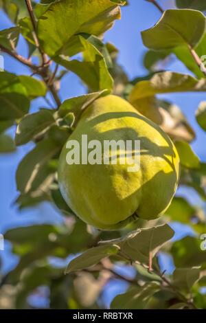 Detailansicht der Quitte Früchte am Baum, typischen Früchte der Region, in Viseu, Portugal - Stockfoto