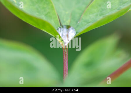 Botanik, Tropfen auf Blatt, Additional-Rights - Clearance-Info - Not-Available - Stockfoto